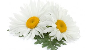 Stockfresh_1937328_two-chamomile-flowers-with-leaves_sizeXS_617d06