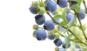 Stockfresh_2721061_blueberries_sizeXS_3ae073
